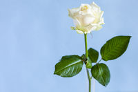 single white rose flower on pale blue background