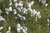 Eriophorum, cottongrass, Iceland