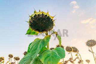 Beautiful sunflower at sunset. Sunflower close up at sunset with beautiful sky. Organic sunflower at sunset close up with a beautiful background