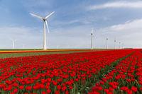 Red tulip field and wind turbines in the Noordoostpolder municipality, Flevoland