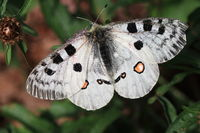 Red Apollo (Parnassius apollo)