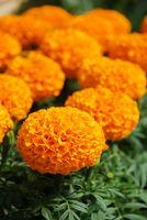 Marigolds Orange Color (Tagetes erecta, Mexican marigold)