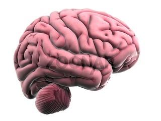 3d rendered illustration of the human brain anatomy