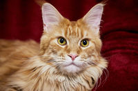 Maine Coon resting