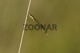 Westliche Weidenjungfer (Chalcolestes viridis)