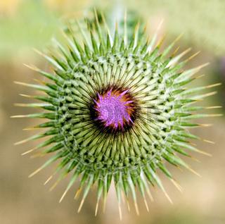 Eselsdistel; Onopordum acanthium, Knospe