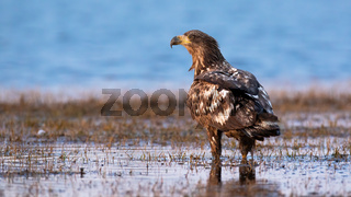 Juvenile white-tailed eagle standing on water from back.