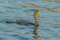 Cormorant 'Phalacrocorax carbo'