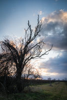Cherry tree in a vineyard at winter with dramatic sky