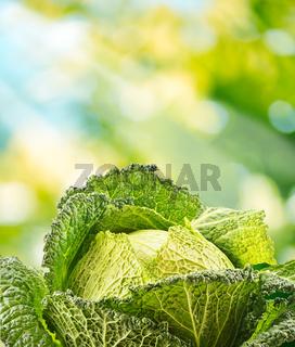 Fresh raw cabbage in the garden