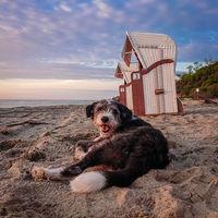 A dog laying lazy on a sandy beach on the german island Poel