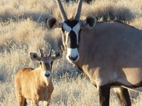 Oryx Father and Son