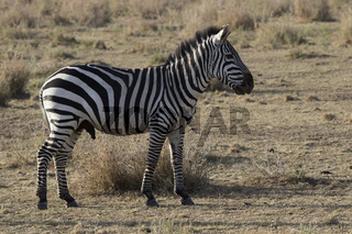 male plains zebras standing in the savannah