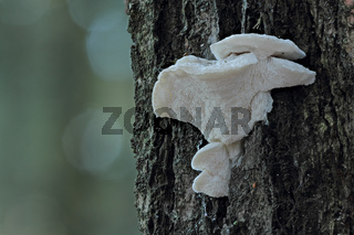Bitterer Saftporling (Amaropostia stiptica)