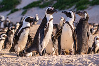 Humboldt Penguin Colony (Spheniscus humboldti) in South Africa