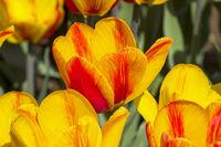 Tulipa of the Hotpants  species