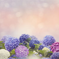 colorful hydrangea flowers in the garden