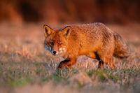 Wild red fox sneaking on meadow in autumn sunrise.