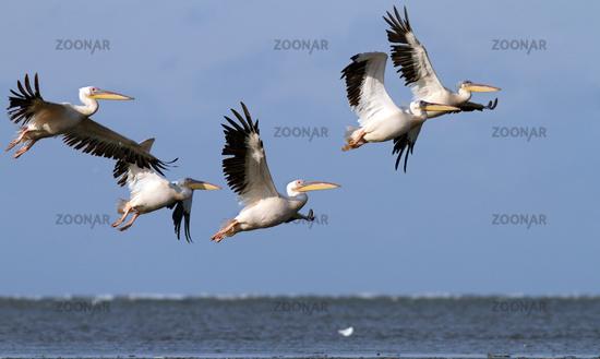 great pelicans ( pelecanus onocrotalus ) flying in