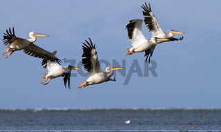 great pelicans ( pelecanus onocrotalus ) flying in danube delta