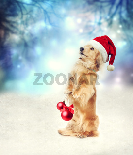 Dachshund dog with Santa hat holding Christmas baubles