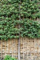 Spalier fruit tree in Weilburg Castle