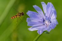 marmalade hoverfly on a common chicory