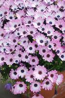 Light purple osteospermum or dimorphotheca flowers, purple flowers.