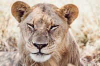 resting young lions Botswana Africa safari wildlife