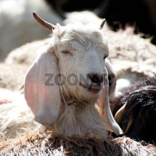 White kashmir (pashmina) goat from Indian highland farm in Ladakh