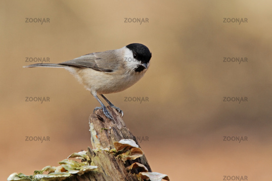 Willow tit (Poecile montana)