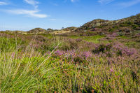 Dunes landscape Netherlands with blooming heather