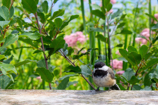 Cute Chickadee Perched Before Pink Flowers