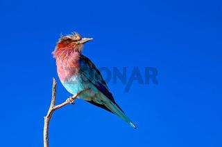 MGabelracke, Kgalagadi-Transfrontier-Nationalpark, Südafrika, (Coracias caudatus) | lilac-breasted roller, Kgalagadi Transfrontier National Park, South Africa, (Coracias caudatus)