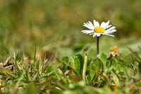 Gänseblümchen, Bellis perennis, common daisy
