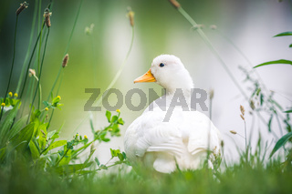 Domestic young goose resting on fresh grass, water in the background.