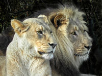 he and she - lions