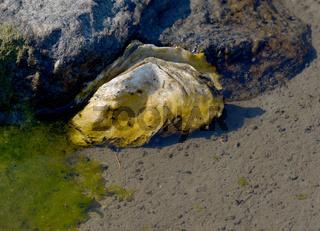 pazifische Auster (Magallana gigas) an der Nordsee,Deutschland