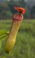 Pitcher Plant, Carnivorous plants with modified leaves known with pitfall traps, Meghalaya, India