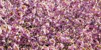 Rosa Kirschblüte am Kirschbaum als Hintergrund