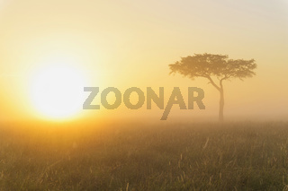 Acacia tree at sunrise with morning mist