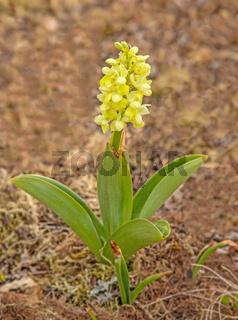 Blasses Knabenkraut  'Orchis pallens'