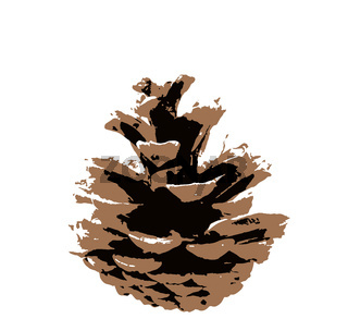 Coniferous pine cone isolated on white background. A cone is an organ on plants in the division Pinophyta that contains the reproductive structures