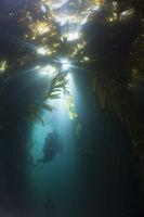 Tauchen in Kelpwald, San Benito Island