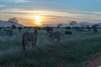 Zebras grazing in the savannah of Tsavo East Park during sunset