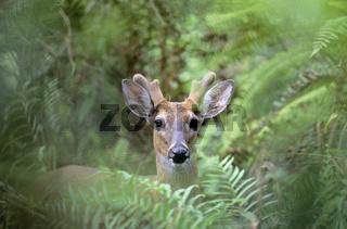 Weisswedelhirsch mit Bastgeweih im Dschungel - (Virginiahirsch) / White-tailed Deer stag with velvet-covered antler in jungle - (Virginia Deer - Whitetail) / Odocoileus virginianus - Odocoileus virginianus (clavium)