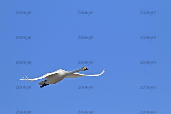 Whooper Swan in flight / Cygnus cygnus