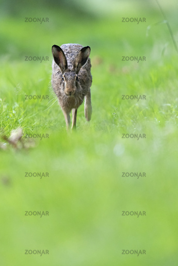 European Hare on a forest path
