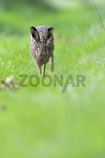 Feldhase hoppelt auf einem Waldweg / Lepus europaeus