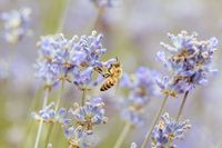 Bee in Lavender in Australia
